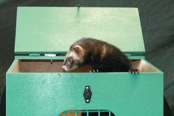 Ferret in a carry box